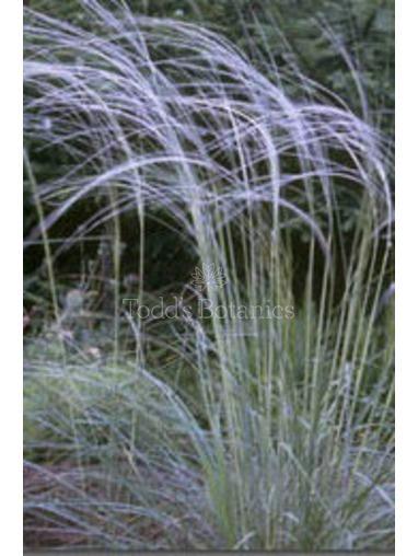 Stipa barbata - Feather Grass