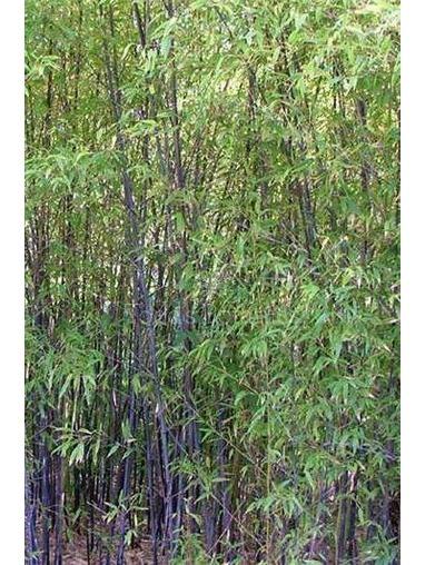 Phyllostachys nigra 1.5-2m high