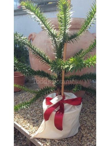 Monkey Puzzle Tree - Gift Wrapped