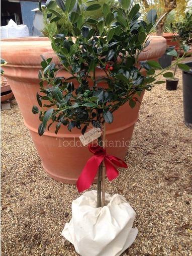 Gift Wrapped Holly - Ilex 'J C van Tol'