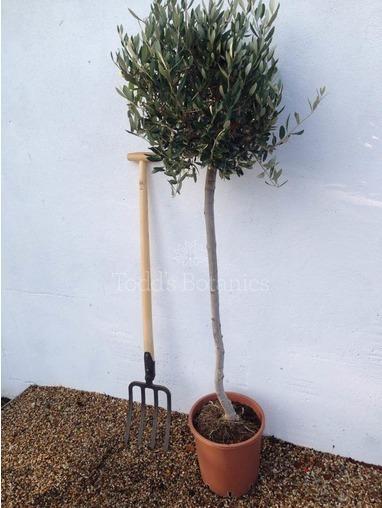 Large 3/4 Standard Olive Tree