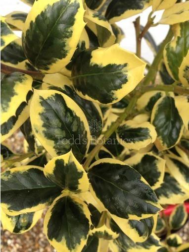 Ilex aquifolium 'Golden van Tol' 1/4 standard