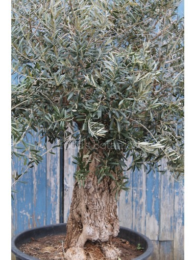 Ancient Olive Tree 1702695A