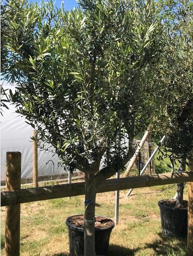 Olive Tree Mature