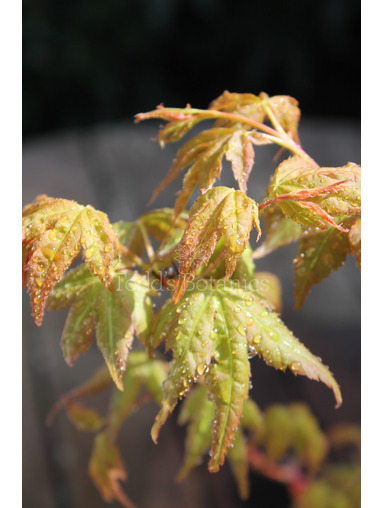 Acer palmatum 'Bi-Ho'