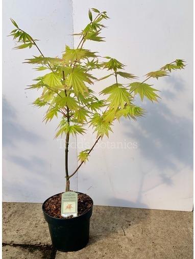 Acer Shirasawanum 'Jordon'