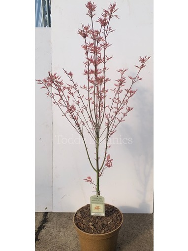 Acer palmatum 'Wilsons Pink Dwarf'