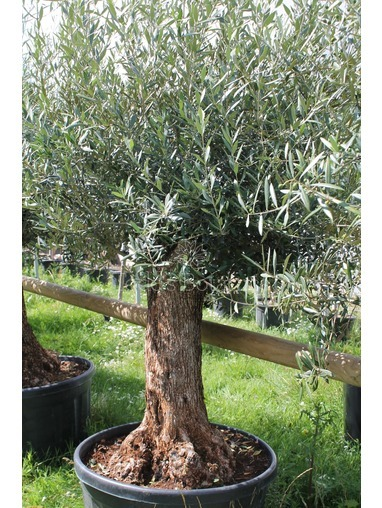 Ancient Olive Tree 1803650C