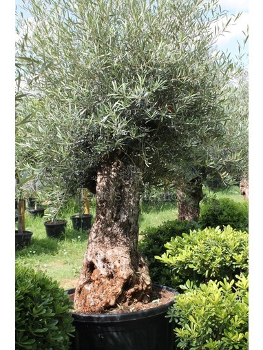 Ancient Olive Tree  18061295K