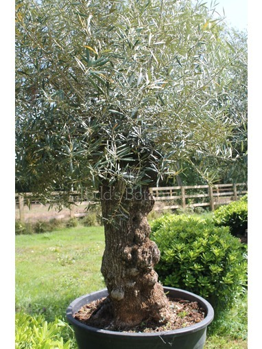 Ancient Olive Tree 1806750C