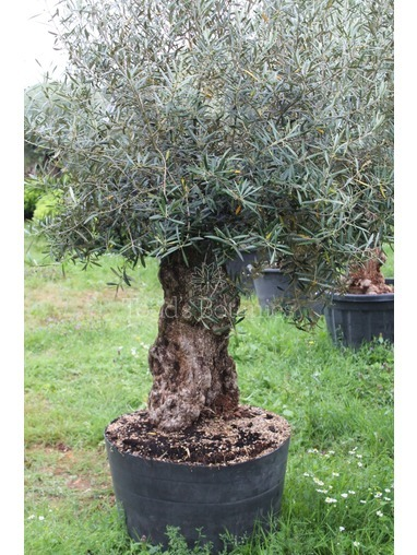 Ancient Olive Tree  1806750G