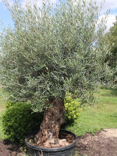 Lovely Old Olive Tree 1806995L