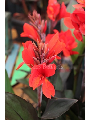 Canna 'Bronze Scarlet'