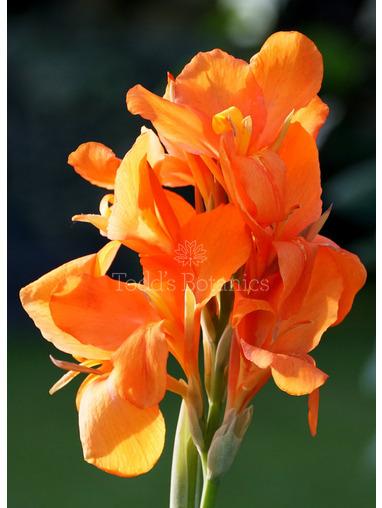 Canna 'Orange Shades'