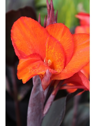 Canna  'General Eisenhower' AGM