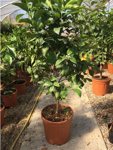 Standard Lemon Tree