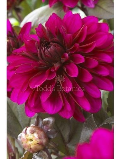 Dahlia 'Purple Flame'