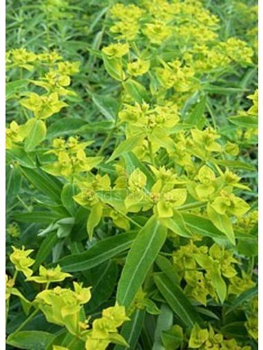 Euphorbia ceratocarpa AGM
