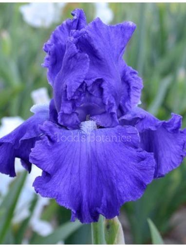 Iris 'Mer du Sud'
