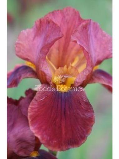 Iris 'Quechee'