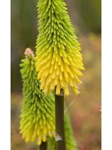 Kniphofia 'Bees Lemon'