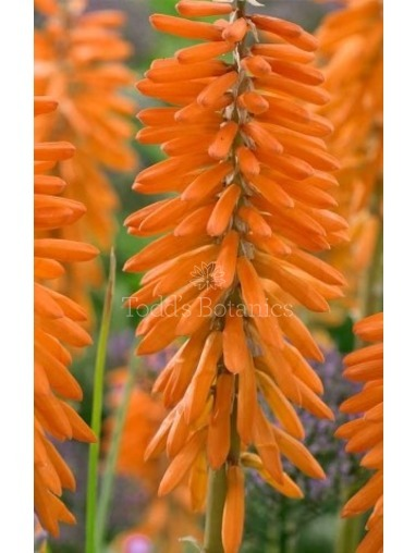 Kniphofia Poco Orange