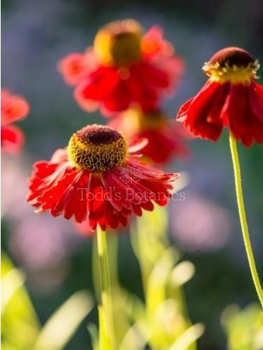 Helenium 'Moerheim Beauty' AGM