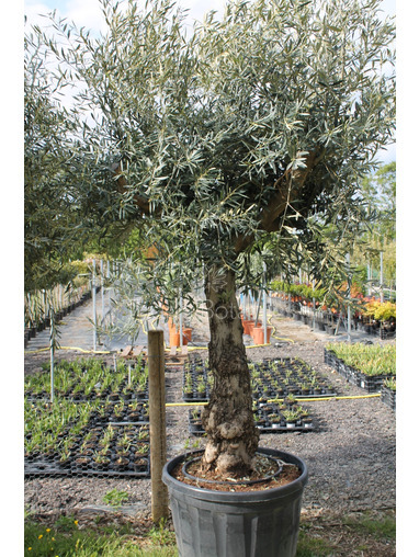 Ancient Olive Tree 1905650B