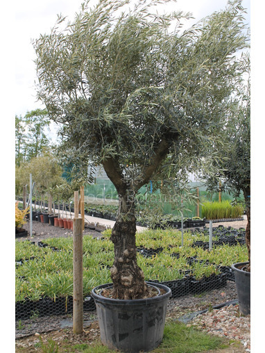 Ancient Olive Tree 1905695A