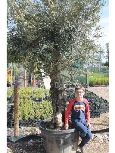 Ancient Olive Tree  1905650C
