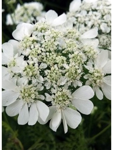 Orlaya grandiflora AGM