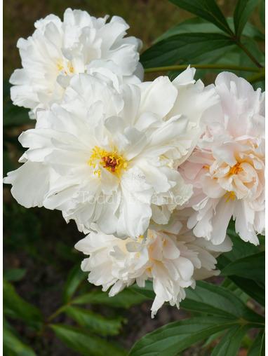 Paeonia 'Gardenia'