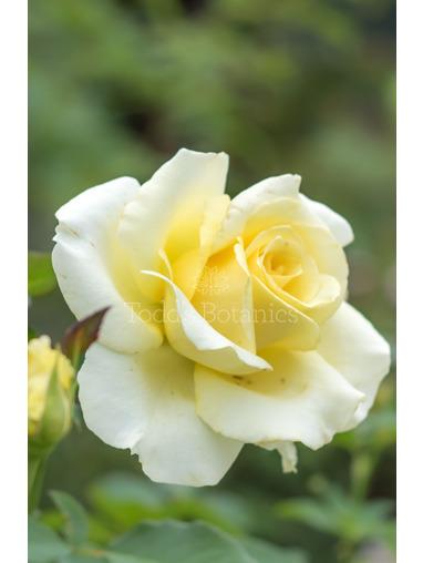 Rosa 'Elina'