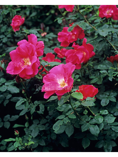 Rosa 'Red Coat'
