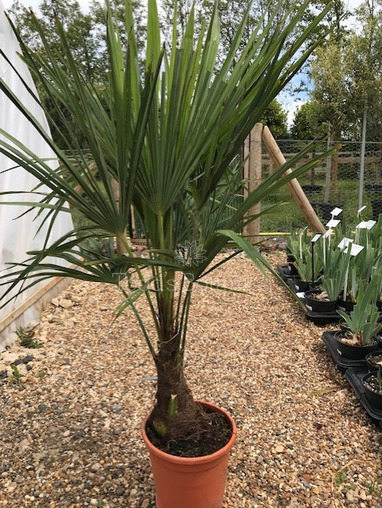 Trachycarpus fortunei AGM