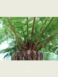 3 foot Tree Fern - Dicksonia antarctica