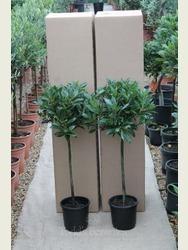 Pair of 1/4 standard Bay Trees