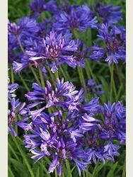 Agapanthus 'Navy Blue'