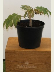 Tetrapanax papyrifer 'Rex' in 5 Litre Pot