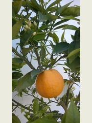 Large Orange Tree (Citrus sinensis)