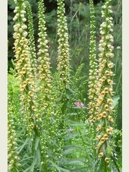 Digitalis ferruginea 'Gelber Herold'