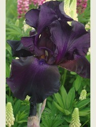 Iris 'Deep Black'