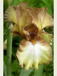 Iris 'Siva Siva'