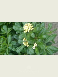 Pittosporum tobira Evergreen shrub