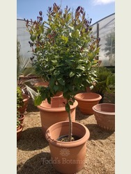 Large Lemon Tree (Citrus limon)