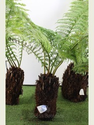 1 foot Tree Fern - Dicksonia antarctica