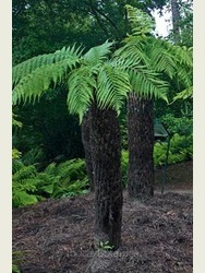 5 foot Tree Fern Dicksonia antartica
