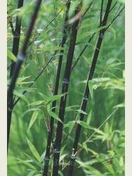 Phyllostachys nigra 2-2.5m high