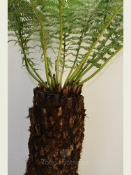 4 foot Tree Fern - Dicksonia antarctica