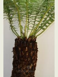 4 foot Tree Fern - Dicksonia antarctica
